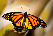 Note the black spots on the monarchs' hind wings indicating the male of the species.