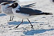 Laughing gull, Larus atricilla, along the shoreline at Anna Maria Island, Florida, USA