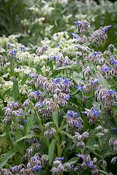 Borago officinalis - Blue and White