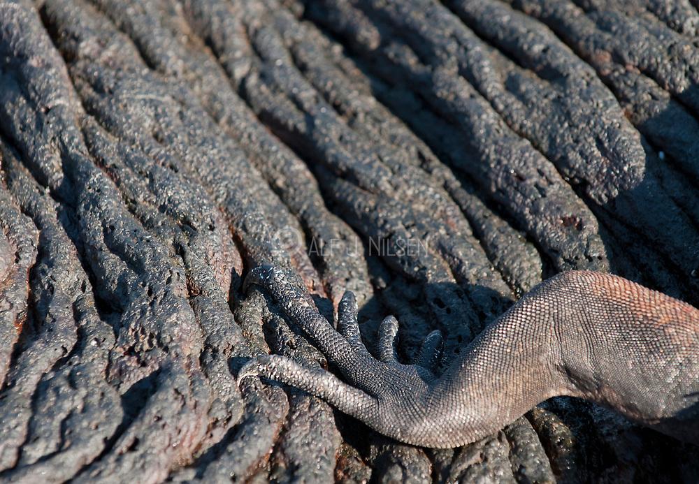 Leg of a marine iguana on lava flow.  From Sullivan Bay, Santiago, Galapagos.