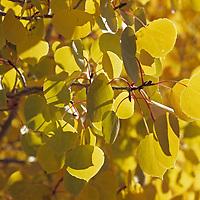 Fall Aspen trees in Bishop Creek Canyon.
