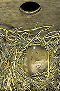 Hazel Dormouse Muscardinus avellanarius Length 13-17cm Nocturnal small mammal and an iconic conservation symbol. Mainly arboreal and hibernates in winter. Nests are made mainly from shredded Honeysuckle bark. Adult has mainly golden brown coat with paler throat and belly. Note the large, beady eyes and rounded ears. Feet have flexible toes, used when climbing; tail has coating of golden fur. Mainly silent. A woodland species. Thrives best where mature oaks, coppiced Hazel and Honeysuckle grow together. Local and threatened by habitat destruction and degradation.