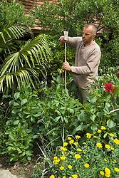 Staking dahlias. Fergus Garrett hammering in cane