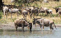 A herd of Wildebeest, Connochaetes taurinus, drinks from a pond in Tarangire National Park, Tanzania
