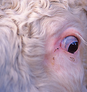 A87CRB Close up of Hereford bull showing eye