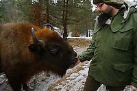 Marcin Grzegorzek feeding apples to wild European bison, Bison bonasus, Drawsko Military area, Western Pomerania, Poland
