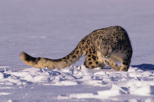 Snow Leopard, (Panthera uncia) Inhabits high mountains in central Asia.Winter. Captive Animal.