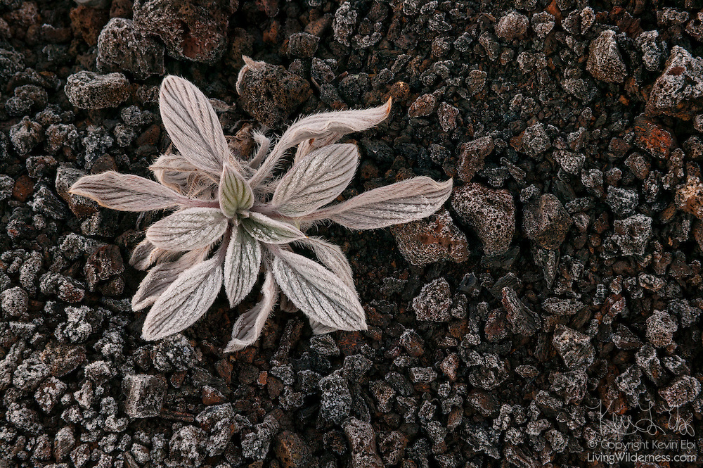A bitterroot (Lewisia rediviva) grows among the lava rocks that make up a cider cone in the Craters of the Moon National Monument in Idaho.