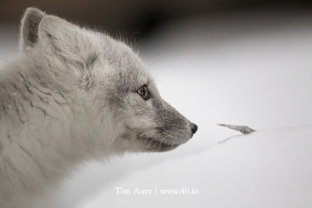 This arctic fox was foraging for prey on the outskirts of Churchill, MB in early November. I watched it quietly for some time, hunting intently for a lemming. The sun was getting ready to set, and the overcast sky meant the amount of light was rapidly diminishing. Many times, this fox came quite close to me, unafraid and unnoticing, and well within the minimum focusing distance of my lens.  Here the arctic fox can be seen pausing to investigate a small frozen stick poking through the snow.  Fortunately the fox didn't move rapidly and I was able to capture an extremely sharp image of this beautiful animals' inquistive eye.