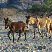 The Jesuit missionary Ciamente Guillen founded Mission Dolores in 1721 on the coast of the Baja Peninsula about midway between Loreto and La Paz. There was a small ranch near the beach with these burros. The people were very friendly and helpful, allowing me to replenish my water supply from their well and there was an unexpected bonus; I arrived just when the mangos on their mango tree were ripe so for a small price I was able to stock up on a rare treat of fresh succulent fruit; truly manna from heaven in that barren place.