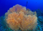 Healthy gorgonian Sea fan with female diver in the background, Shaab Sharm, Southern Egyptian Red Sea