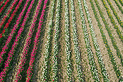 An aerial view of some of the 250,000 tulips in full bloom in a Lincolnshire flower field farmed by Multiflora Flowers on 9th April 2020 in Holbeach, Lincolnshire, United Kingdom. It is said that 'If you see a colourful field of flowers, the crop has failed.' Because of the UK lockdown due to the Covid-19 pandemic wholesalers have closed their doors and supermarkets who are their main customer cancelled their orders leaving the growers with nowhere to sell their flowers. In subsequent days the grower will remove the waste tulip heads in order for the bulbs to retain energy to grow for next year.