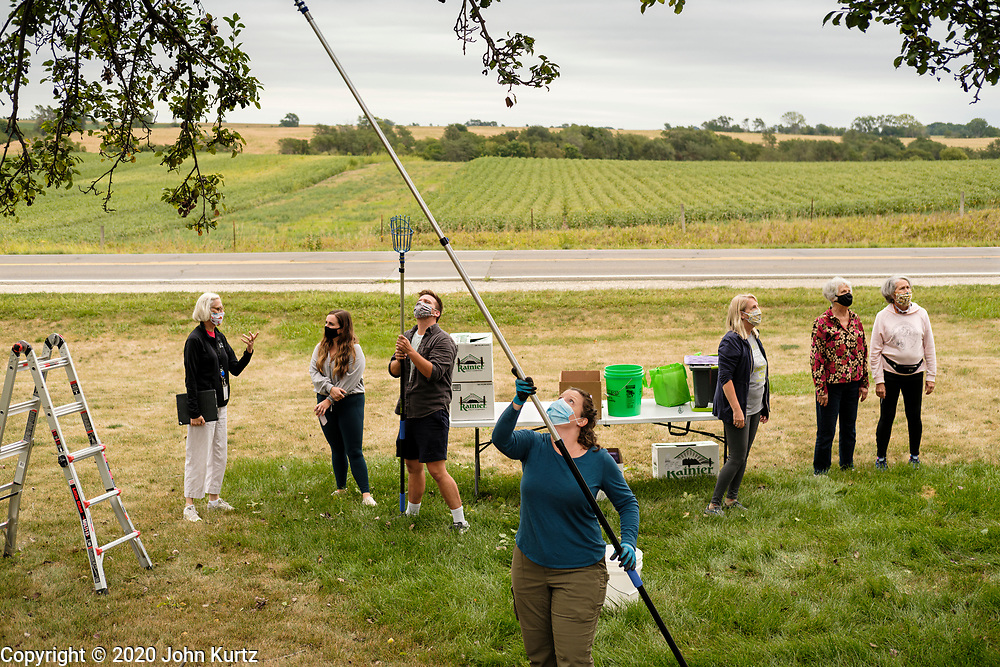 01 SEPTEMBER 2020 - ADEL, IOWA: CARRIE LEWIS uses a picker to reach into the upper branches of a pear tree in Adel, IA, Tuesday. Volunteers from Eat Greater DSM gleaned pears at the Dallas County Human Services Campus. The pears will be distributed to Des Moines emergency pantries, community centers, and churches. Gleaning is the act of collecting leftover crops from farmers' fields after they have been commercially harvested or gathering crops from fields where it is not economically profitable to harvest. It is an ancient tradition first described in the Hebrew Bible. A spokesperson for Eat Greater DSM said need has skyrocketed this year. In a normal year, they distribute about 300,000 pounds of food. Since the start of the COVID-19 pandemic in March, they've distributed more than 500,000 pounds of food.        PHOTO BY JACK KURTZ