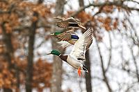 Mallards flying in a row