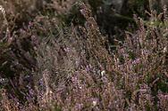 a spider web with dew drops in the Wahner Heath near Telegraphen hill, Troisdorf, North Rhine-Westphalia, Germany.<br /> <br /> Spinnennetz mit Tautropfen in der Wahner Heide am Telegraphenberg, Troisdorf, Nordrhein-Westfalen, Deutschland.