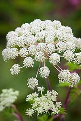 Selinum wallichianum syn. Selinum tenuifolium. Milk parsley