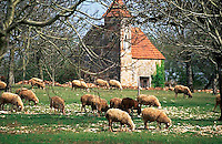 May 1996, Haut-Quercy, France --- Sheep Grazing in a Pasture --- Image by © Owen Franken/CORBIS