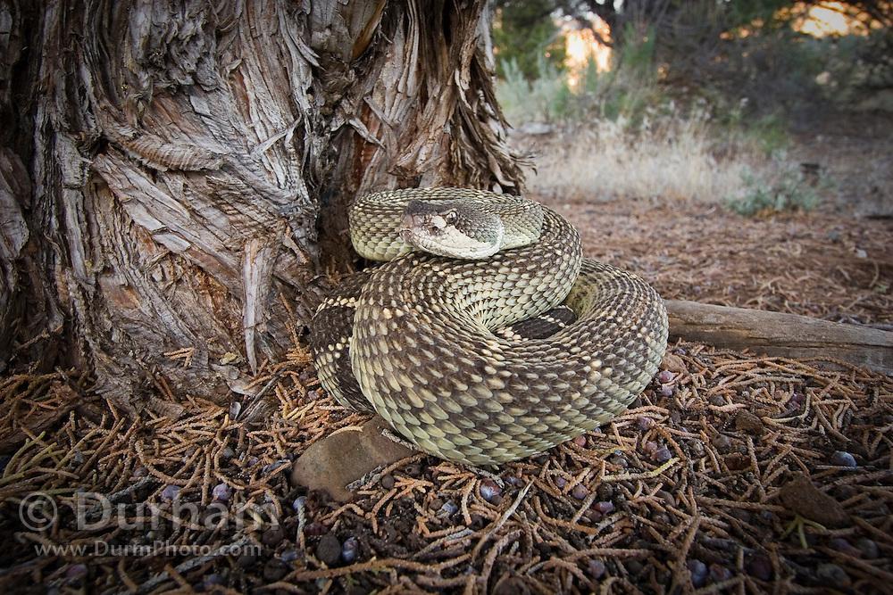 A westen rattlesnake (Crotalus viridis) under a juniper tree. John Day Fossil Beds National Monument, Painted Hills Unit. Oregon.