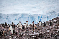 Penguins at Andvord Bay, Neko Harbour, Antarctica.