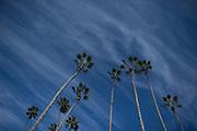 NOVEMBER 3, 2017: BREEDERS' CUP. Palm trees at Del Mar