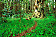 Trail through sorrel and old growth in the Stout Grove, Jedediah Smith SP, Redwood National Park, California USA