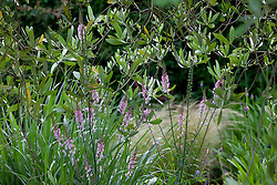 Linaria growing under the olive tree. Check i.d