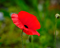 Red Poppy Flower. Image taken with a Fuji X-H1 camera and 200 mm f/2 OIS lens + 1.4x teleconverter (ISO 200, 280 mm, f/5.6, 1/550 sec).