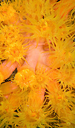 orange cup coral in Bonaire