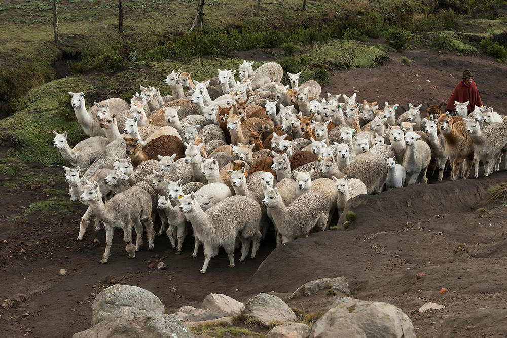 Quichua Indian Man & Alpacas (Vicugna pacos)Pulingue San Pablo community<br /> Chimborazo Province<br /> Andes<br /> ECUADOR, South America