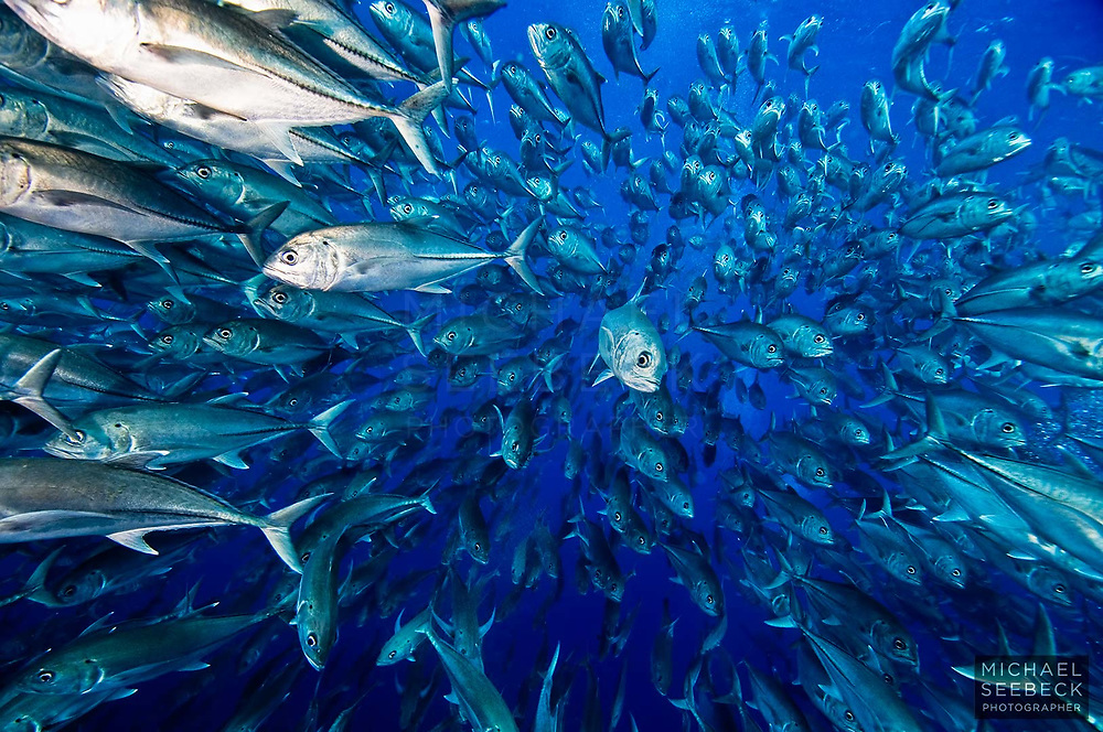 A large school of bigeye trevally envelope me in open blue water off Cocos Island, Costa Rica.<br /> <br /> Code: LCCC0024<br /> <br /> Open Edition Print / Stock Image
