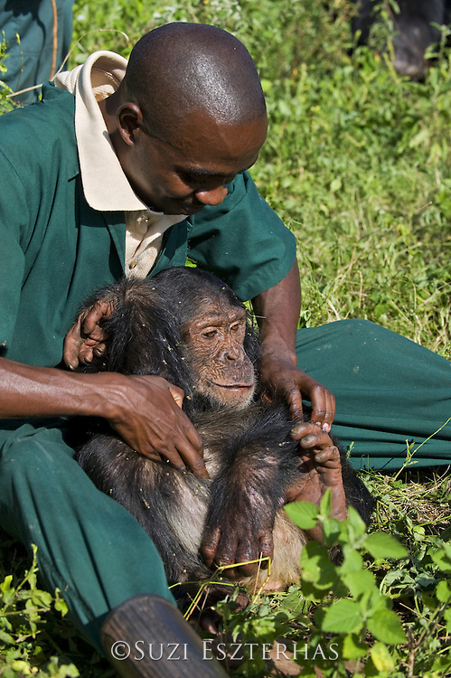Chimpanzee<br /> Pan troglodytes<br /> Fred Nizeyimana (Veterinarian) playing with rescued infant chimpanzee<br /> Ngamba Island Chimpanzee Sanctuary<br /> *Model release available - release # MR_006<br /> *Captive