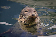 """This grey seal is one of several """"tame"""" animals that hang around the harbour of Kilmore Quay, scavenging fish scraps from anglers and trawler crew."""