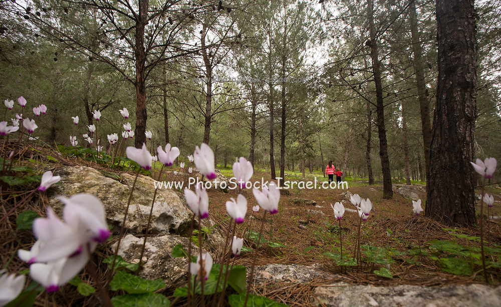 Flowering Persian Violets (Cyclamen persicum). Photographed in Manashe Forest, Israel in March. Out of focus children hiking in background