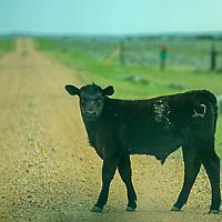 A calf crosses a dirt road in Fergus County, Montana.