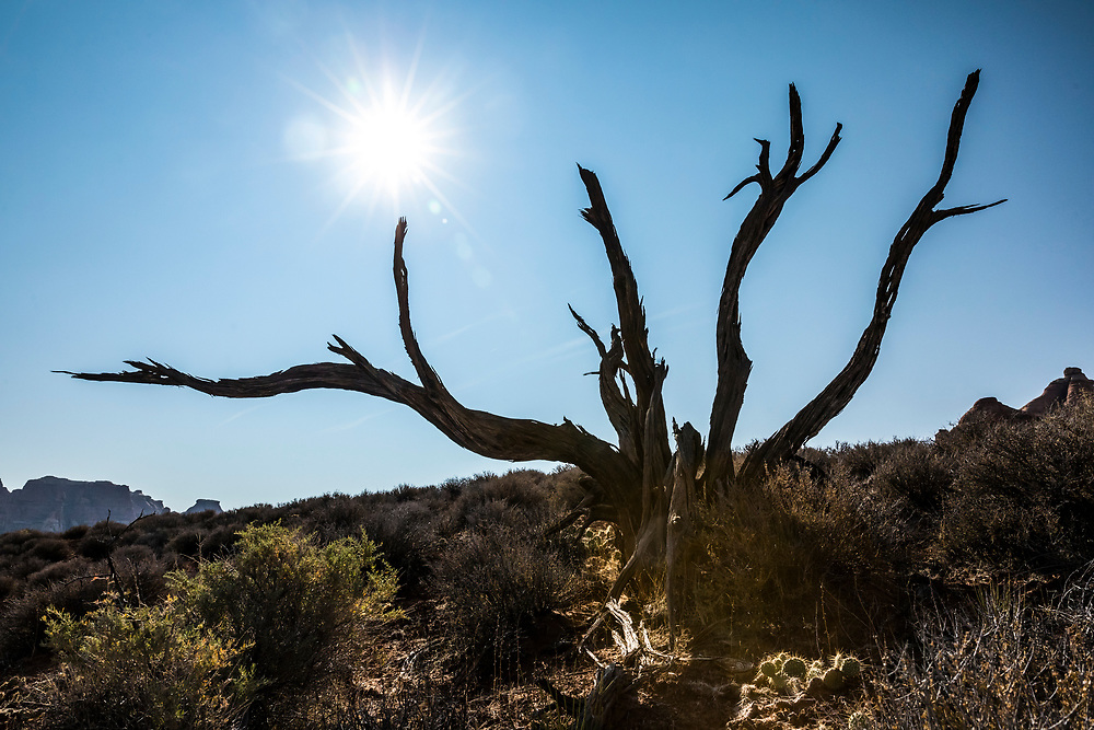 An old dead tree along the Needles Chesler Park trail. Canyonland National Park, Utah, USA.