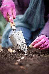 Planting garlic bulbs outdoors. Allium sativum