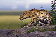 Leopard on a kopje (rock outcropping).  Serengeti National Park, Tanzania