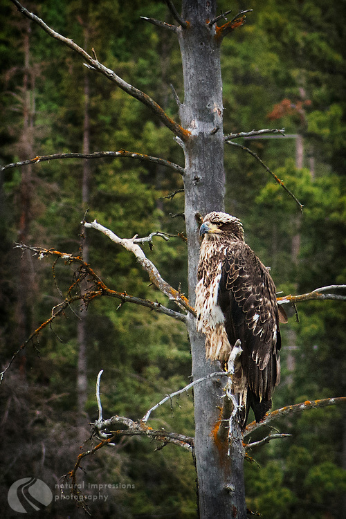 Old Coopers Hawk whatching his kingdom over a Yukon swamp.   Near Whitehorse.