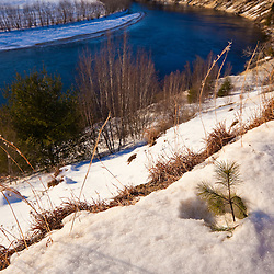 A white pine seedling on a bluff overlooking the Merrimack River in Canterbury, New Hampshire. Winter.