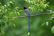 Red-billed Blue Magpie, Urocissa erythroryncha, sitting on a branch in Yangxian Biosphere Reserve, Shaanxi, China