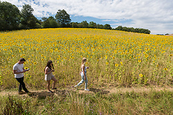 © Licensed to London News Pictures. 05/08/2020. CHORLEYWOOD, UK.  Visitors to sunflowers on a warm, sunny day which are currently in full bloom, growing in a wheat field, near Chorleywood in Hertfordshire.  The forecast is for much temperatures exceeding 30C by the end of the week..  Photo credit: Stephen Chung/LNP