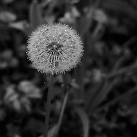 Dandelion Gone to Seed at Keukenhof Tulips Gardens. Image taken with a Leica X2 camera (ISO 100, 24 mm, f/2.8, 1/60 sec). In camera B&W.