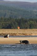 Grey seal hauling out onto a sandbank in the Dornoch Firth, Scotland.
