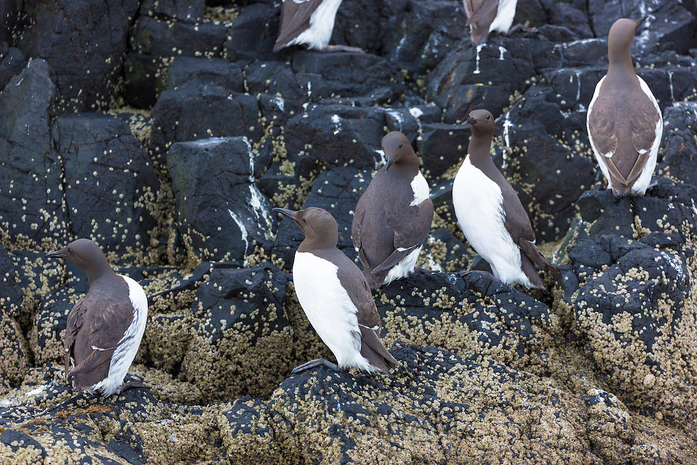 Endangered species Common Guillemot or Common Murre colony of seabirds, Uria aalge, endangered species of the auk family (part of the order Charadriiformeson) on cliffs on Isle of Canna part of the Inner Hebrides and Western Isles in West Coast of Scotland