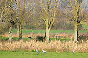 Group of Cranes, Grus grus, large birds walking in natural wetlands habitat in Somerset Levels marshes, UK