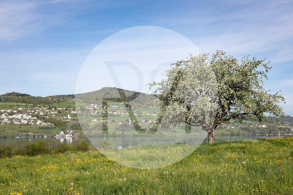 SCHWEIZ - MEISTERSCHWANDEN - Blühender Hochstamm Apfelbaum am Hallwilersee, im Hintergrund ist die Gemeinde Birrwil zu sehen - 24. April 2019 © Raphael Hünerfauth - https://www.huenerfauth.ch