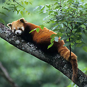 Red Panda, (AilUrsus pulgens) In tree. Wolong Natural Reserve. Sichuan, China.  Captive Animal.