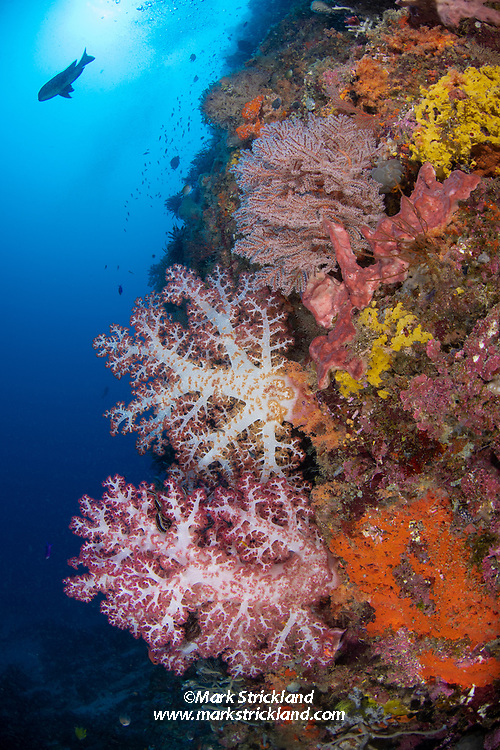 Vibrant soft corals and sponges cling to a vertical wall, Witu Islands, Papua New Guinea, Pacific Ocean
