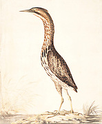 The Eurasian bittern or great bittern (Botaurus stellaris) is a wading bird in the bittern subfamily (Botaurinae) of the heron family Ardeidae. 18th century watercolor painting by Elizabeth Gwillim. Lady Elizabeth Symonds Gwillim (21 April 1763 – 21 December 1807) was an artist married to Sir Henry Gwillim, Puisne Judge at the Madras high court until 1808. Lady Gwillim painted a series of about 200 watercolours of Indian birds. Produced about 20 years before John James Audubon, her work has been acclaimed for its accuracy and natural postures as they were drawn from observations of the birds in life. She also painted fishes and flowers. McGill University Library and Archives