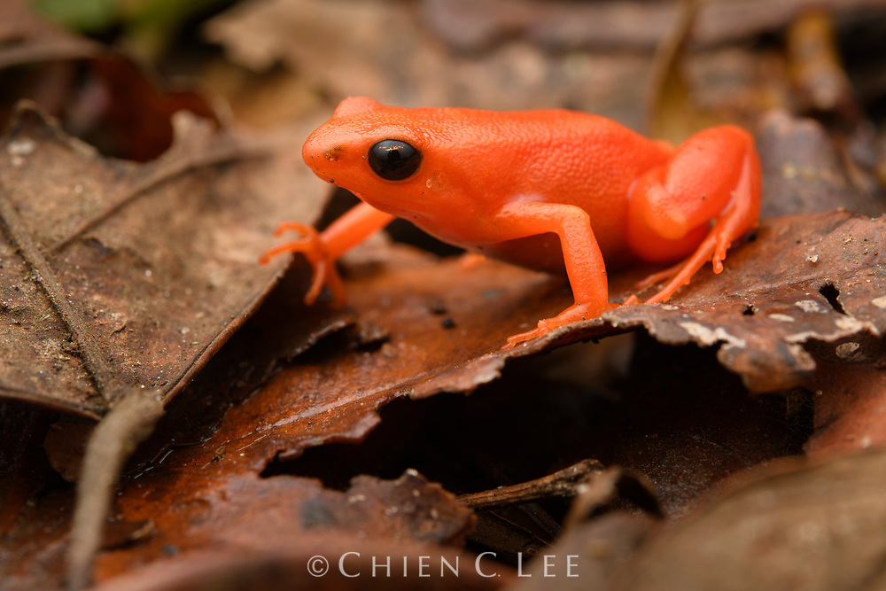Without seeing it move, you could almost mistake the Golden Mantella (Mantella aurantiaca) for a bright orange plastic toy. This is one of Madagascar's most endangered amphibians and is an icon for conservation of the island's threatened wildlife. Efforts targeted at protecting this frog's habitat, coupled with ex-situ breeding programs and reintroduction have helped to protect it from extinction in the wild, but it remains critically endangered and is still known to exist at only two small isolated patches of rainforest. Andasibe, Madagascar.